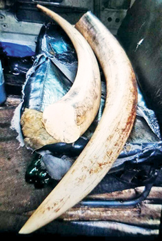 d288a312b With the arrest of two suspects attempting to trade off a pair of elephant  tusks and elephant pearls