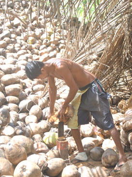 Coconut: Potential for a $ 1 b export industry | Sunday Observer