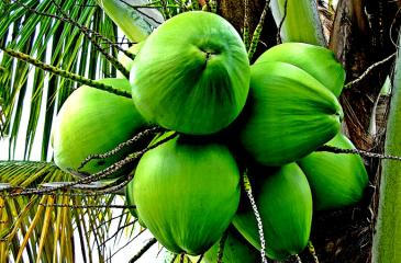 Annual coconut production is now about three billion nuts