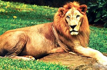 "The mascot Lion "" Cougar"""
