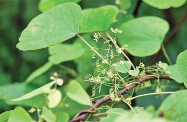 Warakagoda's team developed a method of using the leaves – inducing the growth of callouses, from which Berberine could be extracted. WWW.FLICKR.COM