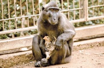 Niv, a four-year-old Indonesian black macaque, holds a young chicken at the Ramat Gan Safari Park near Tel Aviv on August 25
