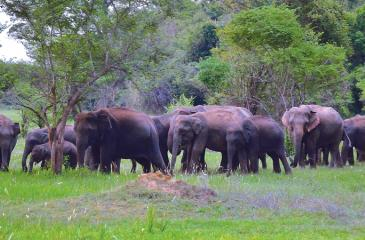 A herd of elephants emerge from the jungle