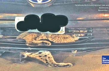 The cat tangled up in the car parked at Virginia Commonwealth University