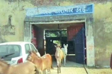 A herd of donkeys walking out of Urai jail in Uttar Pradesh's Jalaun district