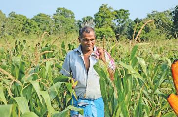 FARM LIFE: Farmer D.M. Karunapala in Karakolagaspitiya, Kotiyagala oversees his bumper maize harvest in his Chena.