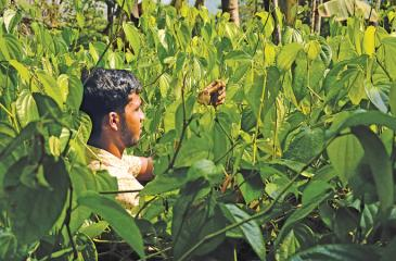 A young farmer plucks betel leaves in his betel farm