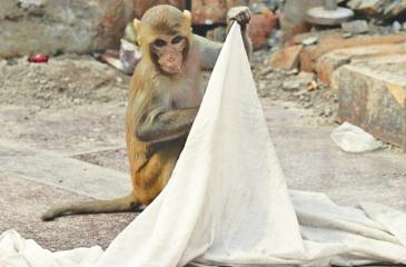 """Officers say this is """"a very rare case"""", although monkeys are often caught trashing homes in the region"""