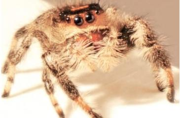 The team in Manchester studied the arachnid to see how jumps could help develop new agile robots inspired by nature. Pic: University of Manchester
