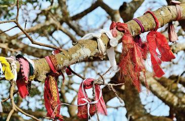Devotees tie coins in cloths around the Bo tree branch making their vows (bhara) to deities
