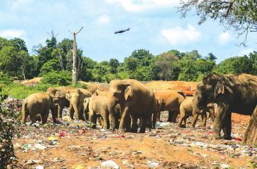 Elephants feed on a garbage dump. Pix: Riaz Cader