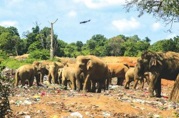 Elephants feed on a garbage dump. Pix: Riaz Cader