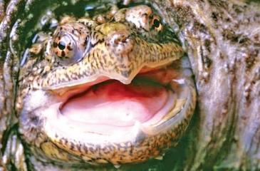 "File image of a  snapping turtle. The reptile in Idaho was ""humanely  euthanised"""