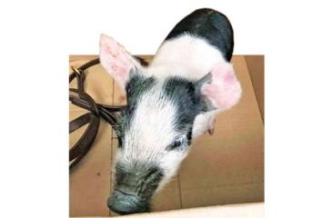 The pig was taken away by the RSPCA and the man was taken away by the police