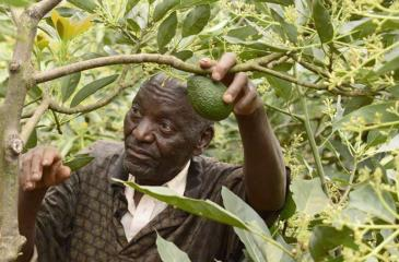 Simon Kimani, a 73 year-old avocado farmer, tends to his crop in Kandara, Kenya. AFP