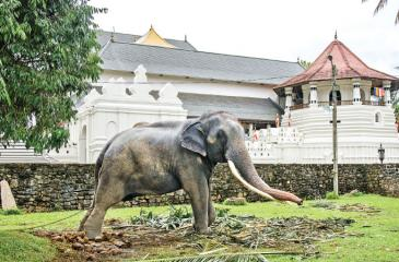 MAJESTIC LOOK: A lone elephant raises its trunk near Natha Devale. In the background is the temple complex of the Temple of the Tooth (Dalada Maligawa)