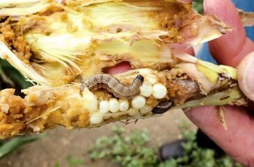Fall Army Worm destroying a plant