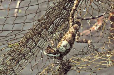 A lizard netted!