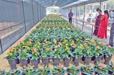 Anthurium plants