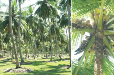 Expanding coconut cultivation to non-traditional areas is another important strategy in increasing yield by expanding land area, but it has to be done with great care. File pix: Lake House Media Library