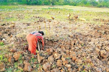 A  woman digging for Lotus yams in the dried up Bogamuwa tank in  Arachchikattuwa, in a bid to fend for the children of her drought hit  farming family.                   Pix: Prasad Purnamal