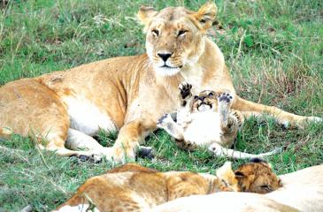 Lions in the wild and every other creature should have the space and conditions to live in natural environments and evolve through natural processes.