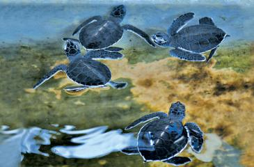 Baby turtles at the hatchery