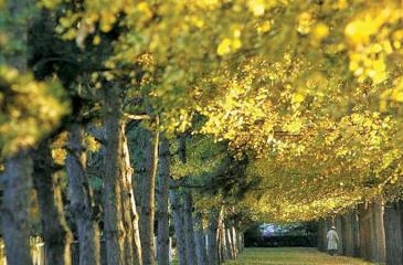 A man walks on fallen leaves under gingko trees as autumn arrives in the Chinese capital, Beijing