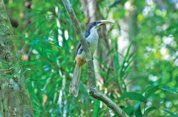 HABITAT: A Grey Hornbill, an endemic resident of the Dobagaskanda forest reserve at Ingiriya