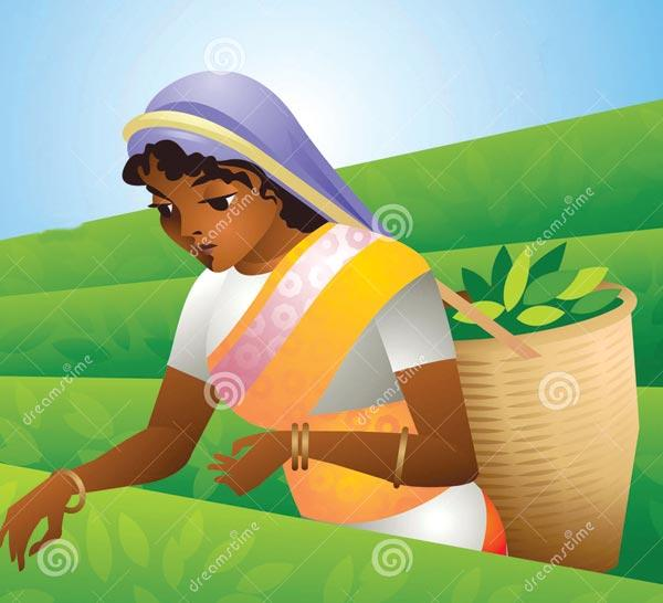Tea Cultivation In Sri Lanka