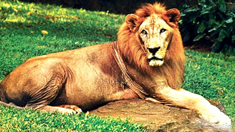 "The mascot Lion "" Cougar"""