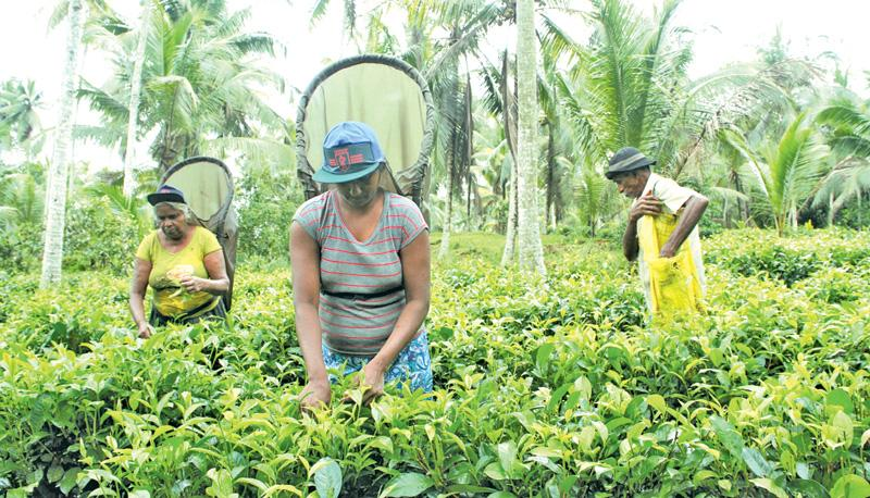 """""""The physiological level of the workers has gone down drastically. The overgrowth of weeds in the estates only makes it more difficult for our employees to simply traverse one section of the plantation to another, let alone harvest and maintain the tea bushes."""""""