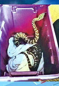 A Seattle family found a 4-feet-long ball python on the toilet at their apartment complex Friday night.