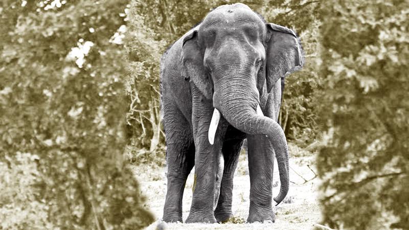 Walagamba-Tusker at Kalawewa Pic: Rajiv Welikala
