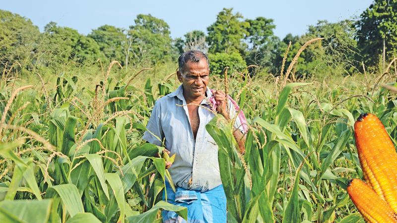 FARM LIFE: Farmer D.M. Karunapala in Karakolagaspitiya, Kotiyagala oversees his bumper maize harvest in his Chena.