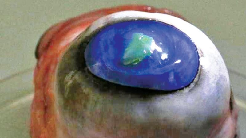 A laser membrane is seen attached to a contact lens placed on a cow's eye