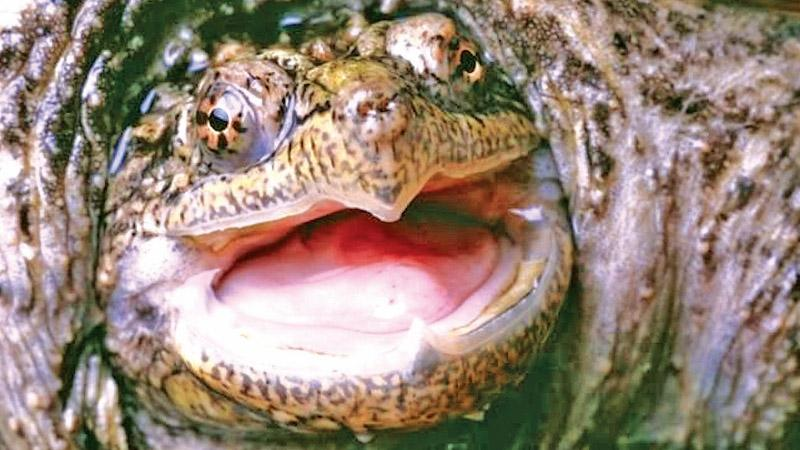 """File image of a  snapping turtle. The reptile in Idaho was """"humanely  euthanised"""""""