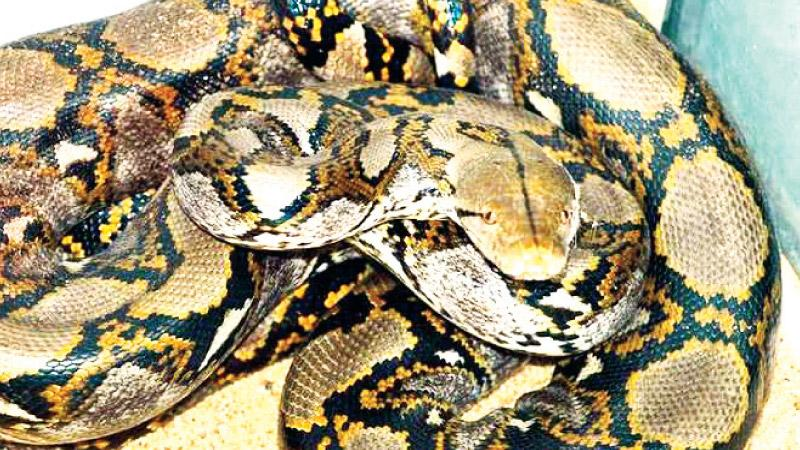 Indonesian woman swallowed by giant python while tending her garden