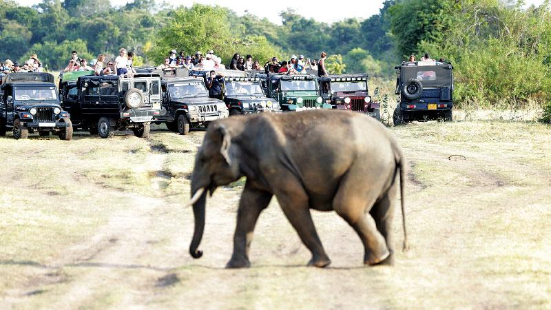 A lone young tusker subjected to intense scrutiny by hordes in jeeps