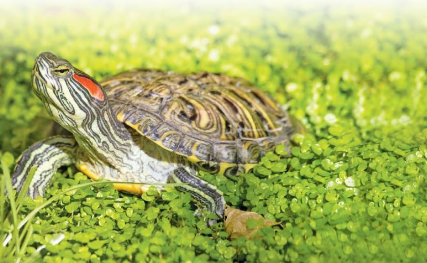 Red-eared terrapin: Evasive and Invasive