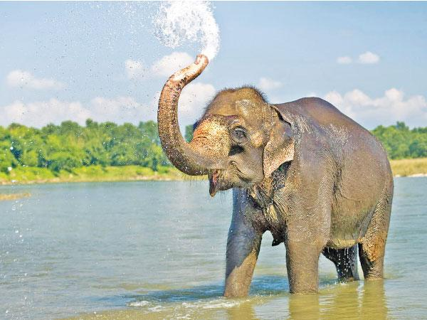 An elephant squirting water out of its trunk