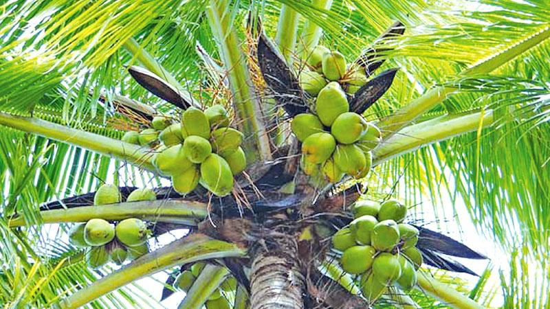 Sri Lankan coconut industry: performance and challenges for