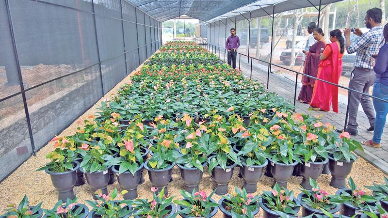 Anthuriums A Home Garden Money Spinner Sunday Observer