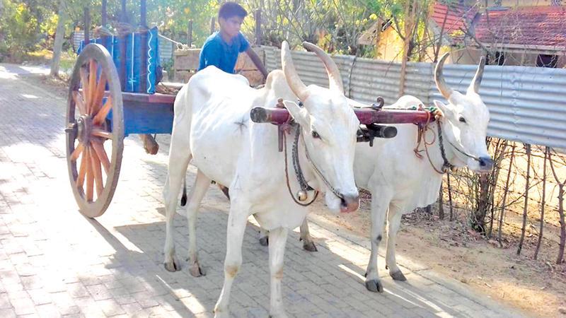 Double yoke bullock cart
