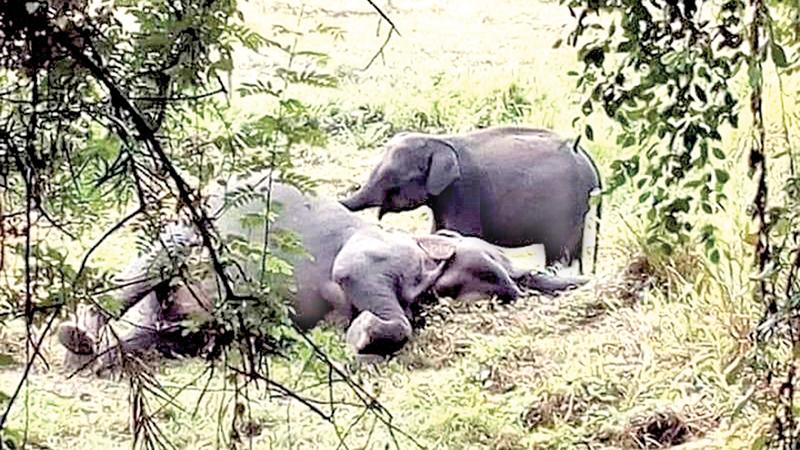 Orphaned calf keeping vigil over dead mother
