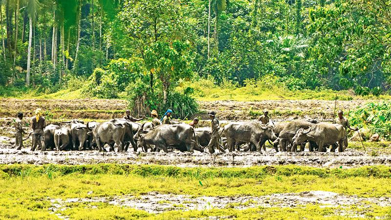 AGE-OLD PRACTICE: Ploughing the field with water buffaloes
