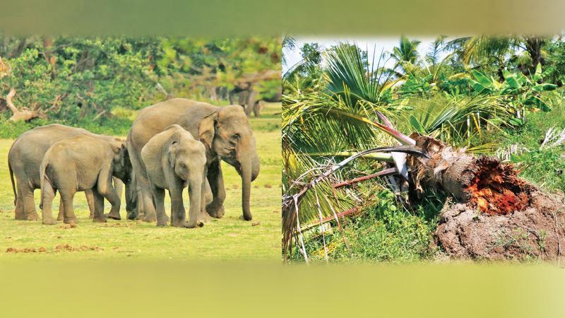 Coconut tree damaged by wild elephant (Pic. Sudath Abeysinghe)