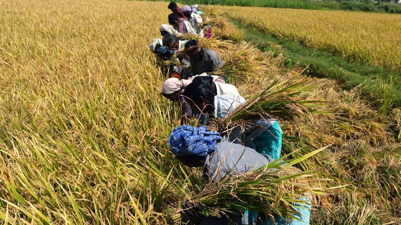 Govt. to set minimum guaranteed prices for paddy