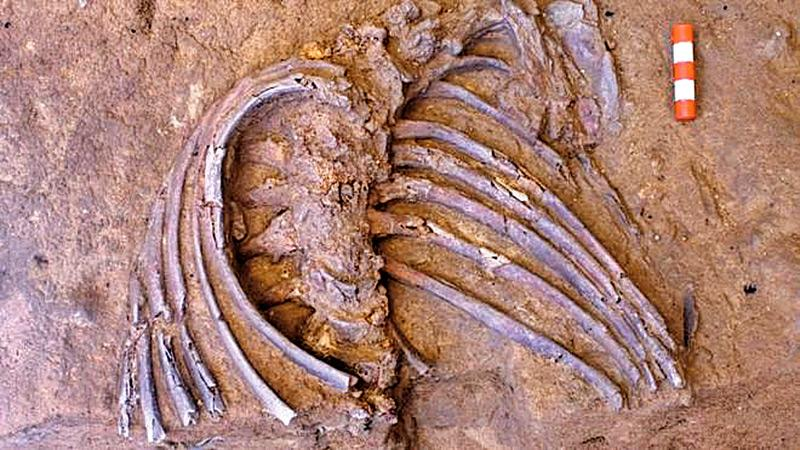 The ribcage of Shanidar
