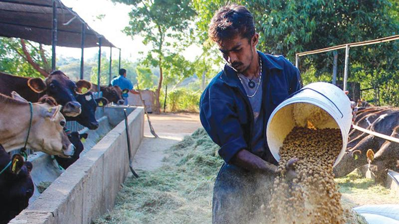 The preparation of cattle feed.